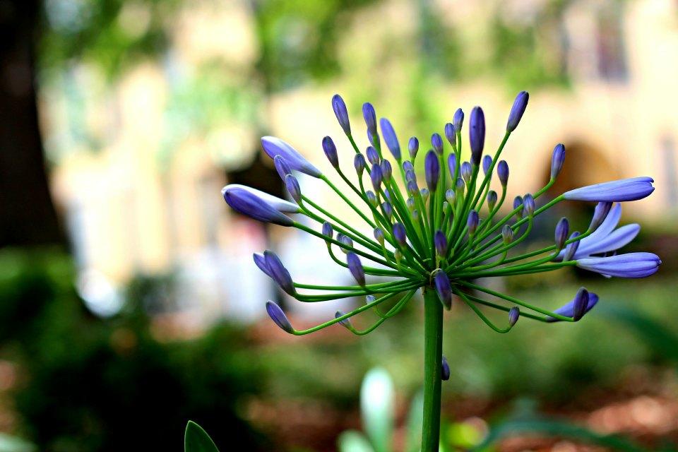 Purple Flower in Savannah Park